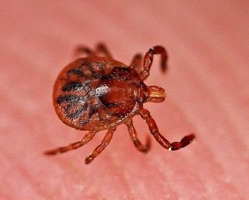 John Flannery via Flickr Deer ticks are also predicted to increase, stoking fears about Lyme disease. Ticks, which carry Lyme disease disease, are also a concern in much of the northeast.