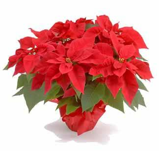 The Christmas Season is upon us again, what an exciting time of year! We would like to invite you this year to donate flowers in memory or in honor of loved ones, or in appreciation of someone.