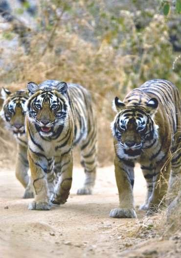 Wildlife Safaris Yet another layer of surprise awaits you with the jungles and tigers of India, which have enchanted throughout the centuries.