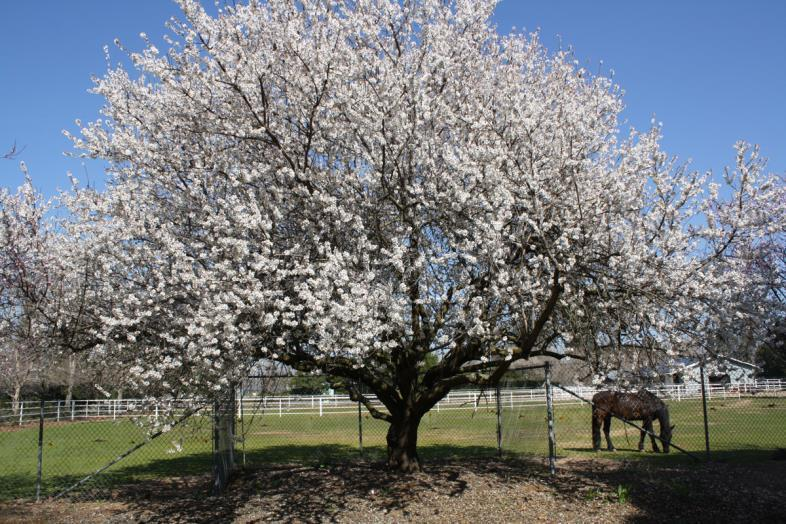 Solomon says old age is the time in life when the almond tree blossoms. The comparison is between the white blossoms on the almond tree and the grey hair on the aged s head.