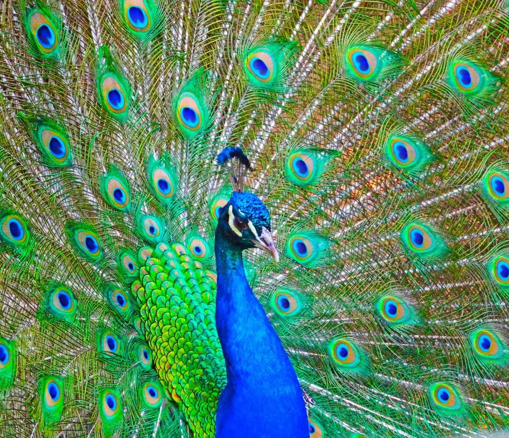 Classic India The Peacock The National Bird of India.