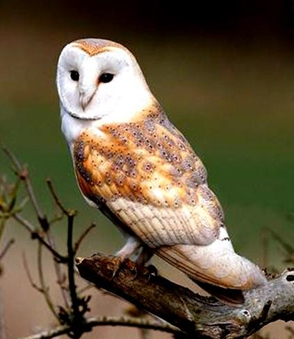 13 In this area the other day I saw a beautiful barn owl swoop majestically down to catch its supper, I stood mesmerized, its grace and size was breath-taking.
