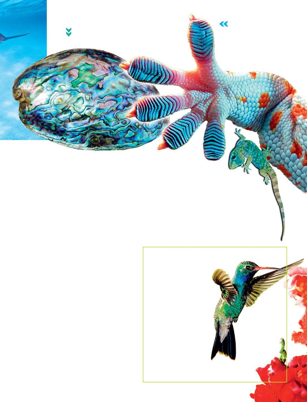 Scientists are researching the shock-absorbing properties of abalone shells Thegeckocanclingtothe smoothest of surfaces by using molecular forces Gecko foot: Fotosearch; hummingbird: Laurie