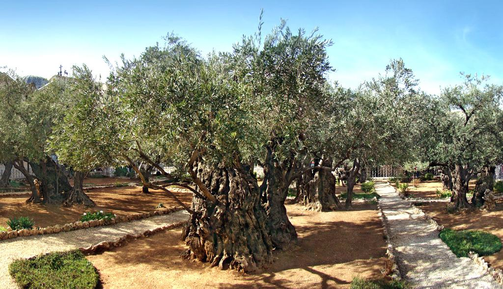 Dinner & Overnight in Jerusalem Gethsemane Located at the foot of the Mount of Olives, below the City walls which in Gospel days was probably a private garden with olive oil production