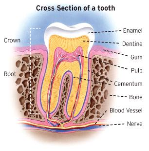 Science Revision Teeth A tooth is basically made up of two parts: the crown and the root.