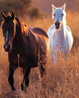 Agriculture, or the science of farming, was their main source of food. The Indians captured and tamed wild horses. By the 1700 s, hunting replaced farming as the basis of life for many plains people.
