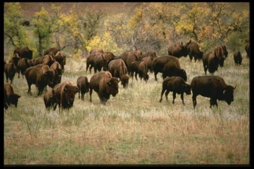 The buffalo provided every thing the Native Americans needed to live on. corrals What do we mean when we say the buffalo was a living grocery store for the Native Americans?