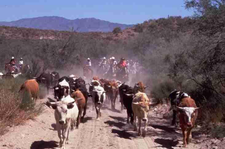 In response to the need for meat, ranchers began rounding up the herds of longhorns. They drove the herds hundreds of miles called cattle drives.