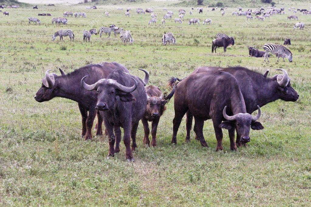 These are cape buffalo in Africa. You see that they have sharp horns. They are deadly horns, but this animal is not a predator. This animal knows that there are predators around.