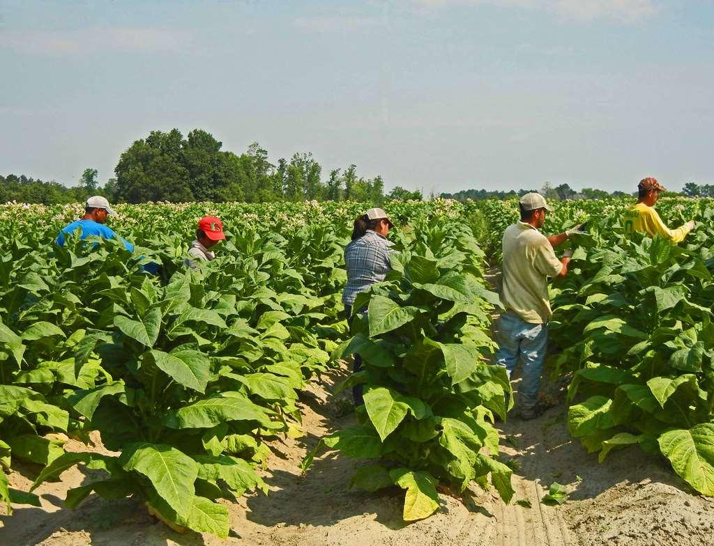 Bewitching Weed Tobacco requires a lot land.